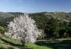 park-berkeley-california-berkeley-hills-tilden-park-tree-in-bloom-3
