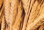 berkeley-california-northbrae-westbrae-neighborhood-produce-monterey-market-1550-hopkins-wheat-3