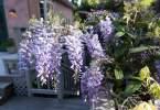 0-milvia-1236-north-berkeley-neighborhood-flowers-16
