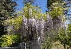 0-milvia-1236-north-berkeley-neighborhood-flowers-20