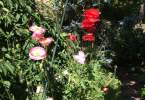 0-milvia-1236-north-berkeley-neighborhood-garden-owners-07